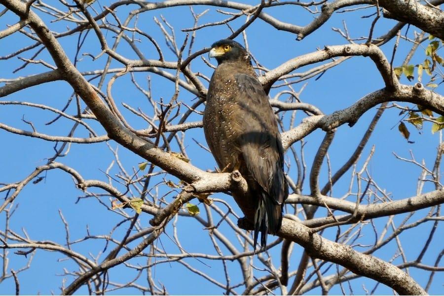 Spotting a crested serpant eagle on safari in India