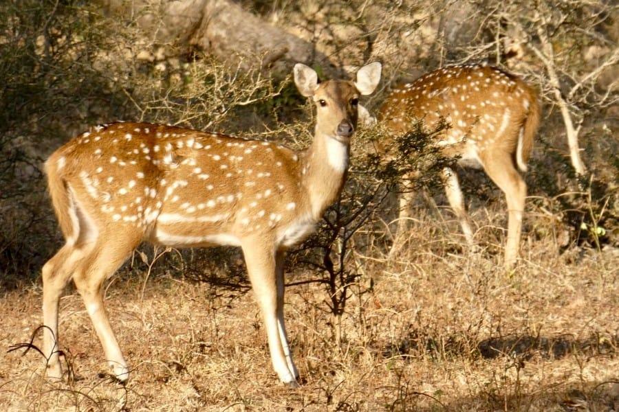 spotted deer panna national park