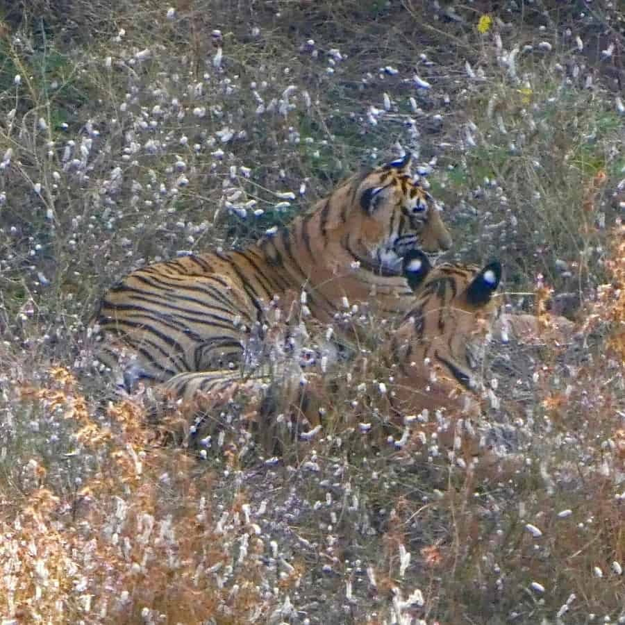 Two tigers rest in the forest, seen on safari in India's Ranthambore Park