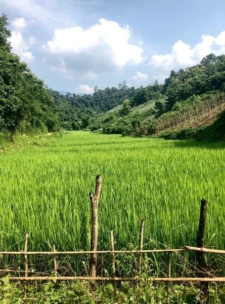 A bright green rice field in the monsoon season
