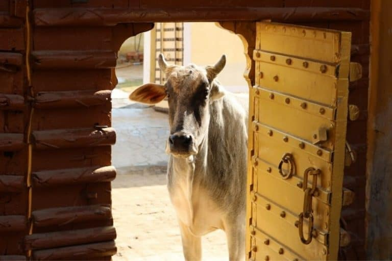 India where cows are sacred to hindus