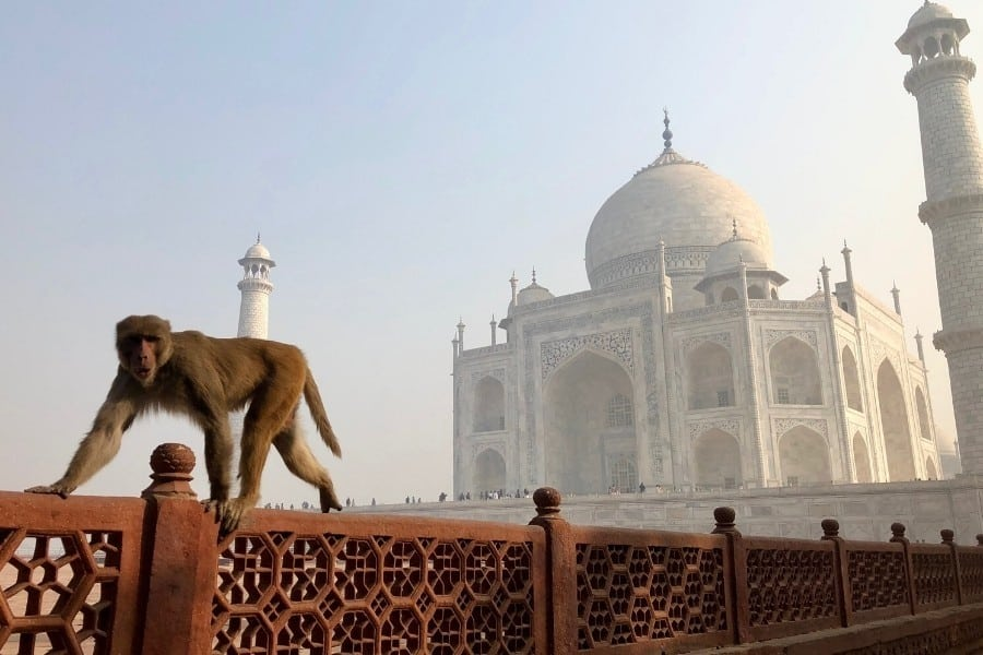 Plan a trip to India to include a monkey greeting at the famous Taj Mahal