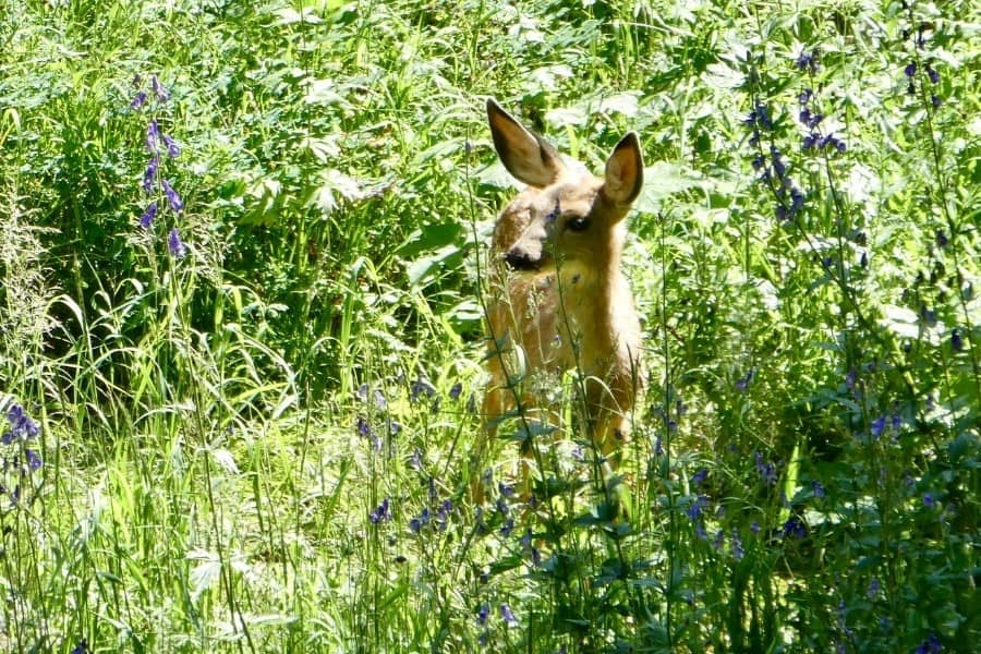 A deer in the sun-lit forest on a hike of Cascade Canyon