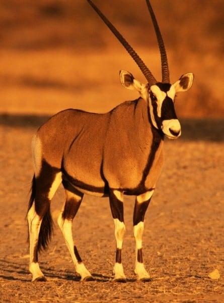 A gemsbok in Botswana