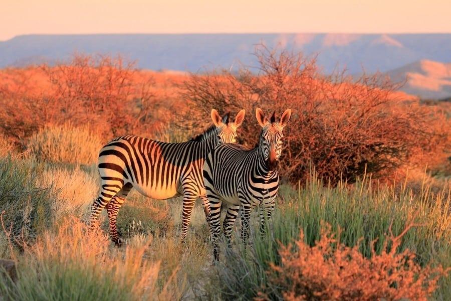 zebras in a beautiful grassland in Africa