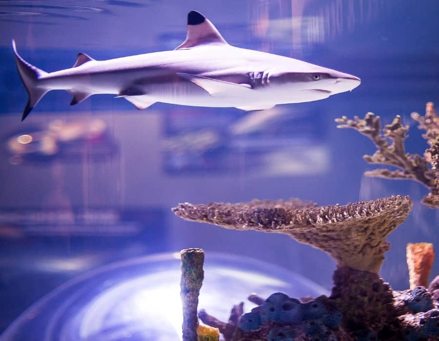 A shark swims above coral in a tank at Ripley's Aquarium in Toronto Canada